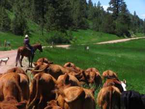 Christy Counts Cows Through a Gate