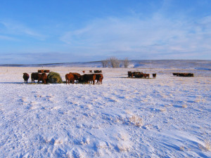 Cows Bale Grazing in Snow