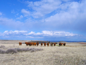 Fat Cows and Steers Under Montana Sky