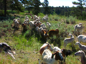 Sheep and Goats Graze Invasive Weeds such as Leafy Spurge