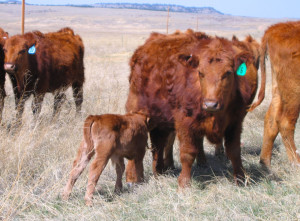 April Brings Baby Calves