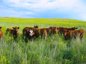 Heifers in July of a Record Sweet Clover Year
