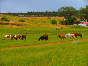 Horses Turned Out to Pasture